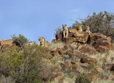 Four Tigers on Rocks at Tiger Canyon Private Game Reserve