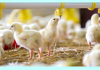 Sustainable Poultry Production