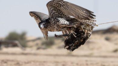 """Photo of الظفرة يحصد """"رباعية التفوق"""" في بطولة فخر الأجيال للصيد بالصقور"""
