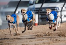 Photo of Four days of excitement in Al Marmoom as local Saluki race pedigrees put on a show of speed and stamina