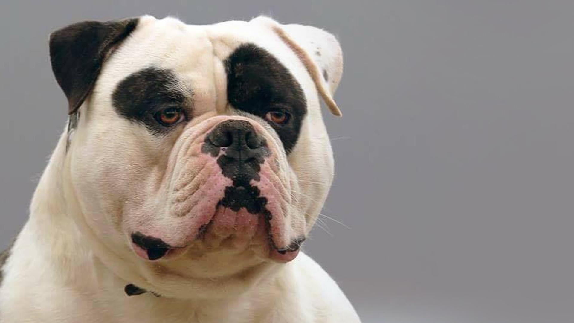 american-bulldog-ebkc