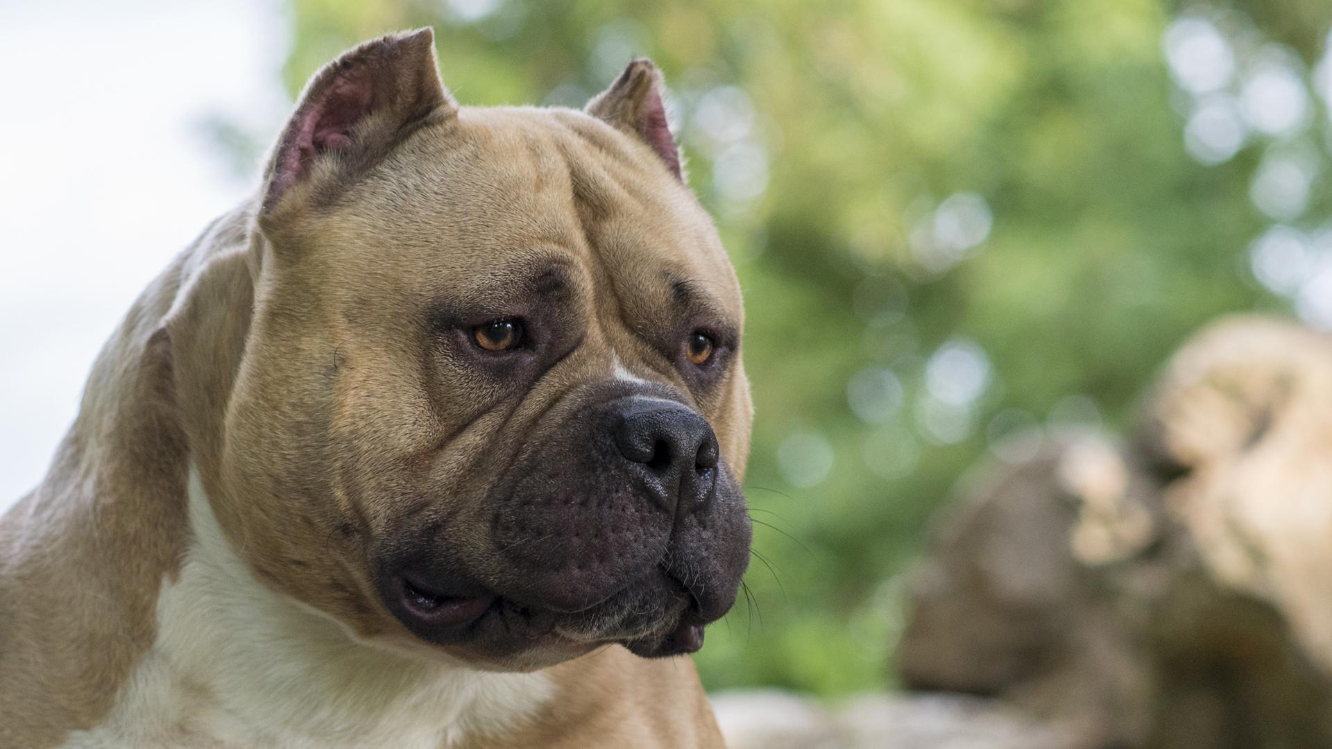European Bully Kennel Club Ebkc The