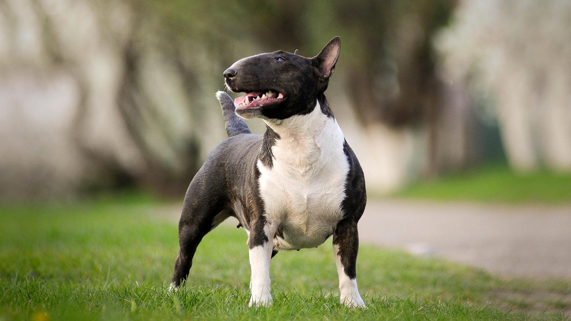 Bull Terrier Ebkc European Bully