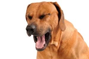 coughing dog
