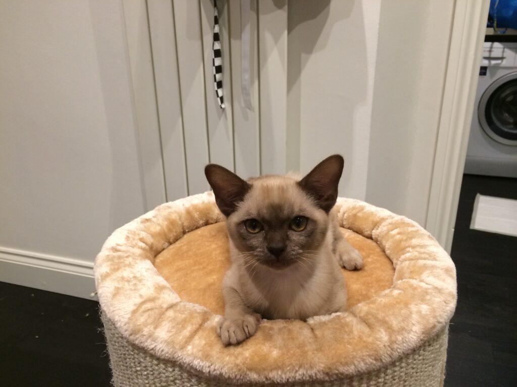 showing pagoda cat as a kitten