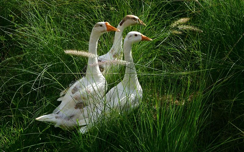 Ducks Image At Island Resort near Pune-Jalsrushti