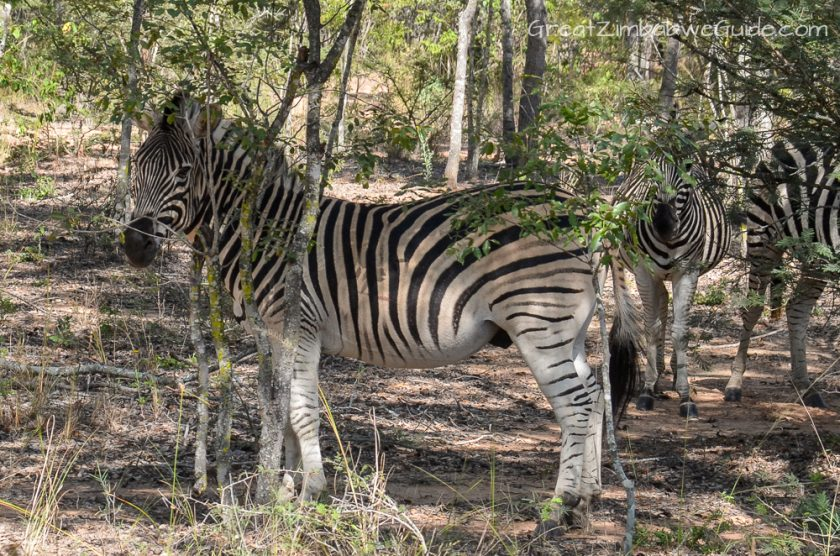 Mbizi Game Park Harare Zimbabwe Zebra