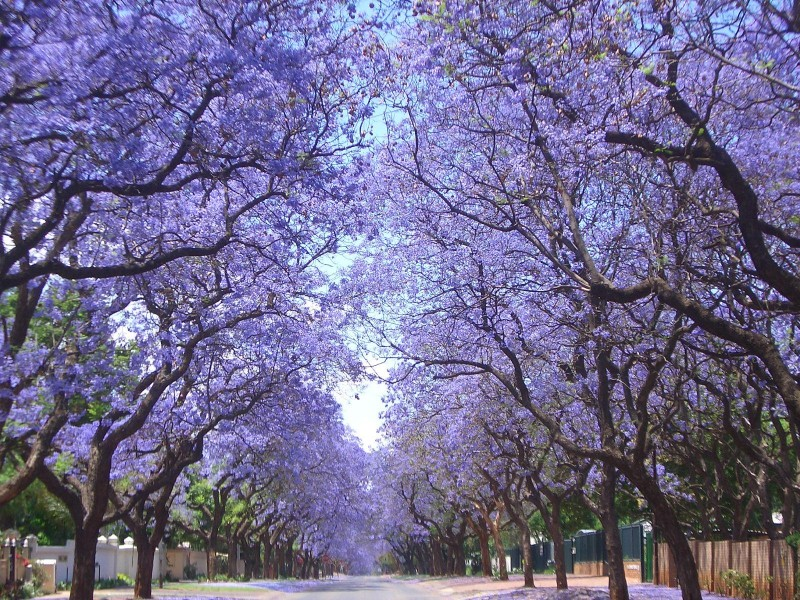 Jacarandas. Source: RedJBishop