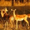 Victoria Falls impala