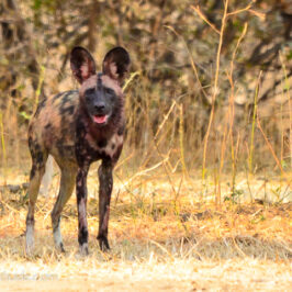 Mana Pools painted hunting dog