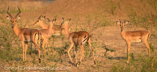 Mana Pools Impala