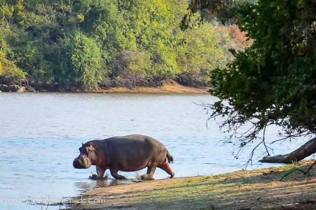 Mana Pools Hippo Long Pool