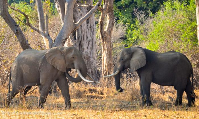 Mana Pools Zimbabwe elephants