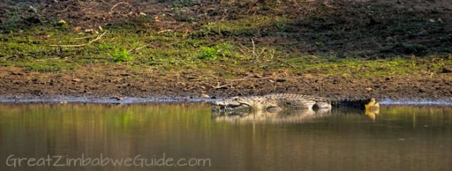 Mana Pools crocodile