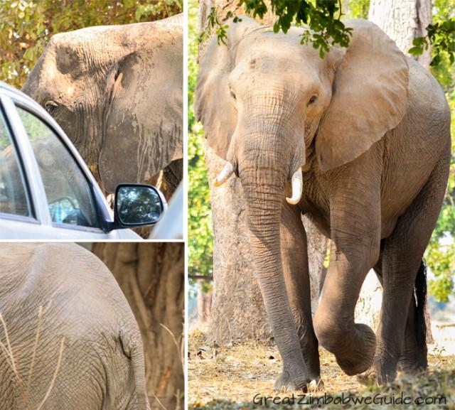 Mana Pools elephant 4