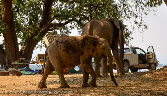 Mana Pools elephant 5