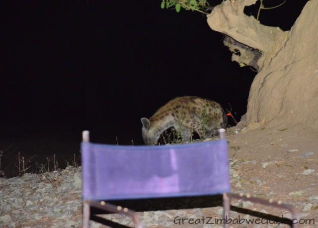 Mana Pools hyena 1