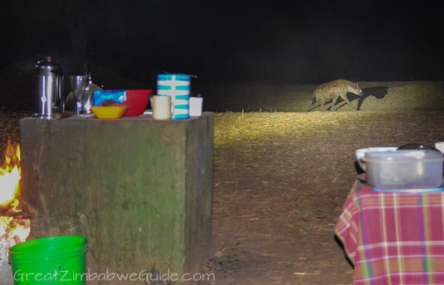 Mana Pools hyena 3