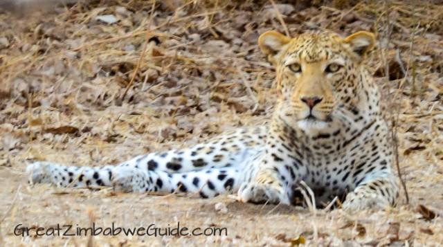 Mana Pools leopard