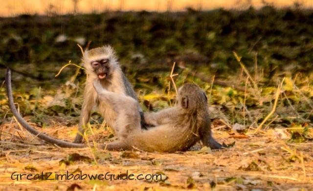 Mana Pools monkeys