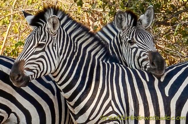 Mana Pools zebra 1
