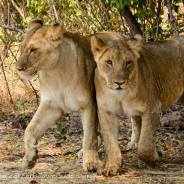 Our lion encounter with Wild Horizons: A unique conservation programme