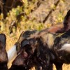 Zimbabwe wildlife hunting dog