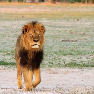 8 things you should know about Cecil the Lion