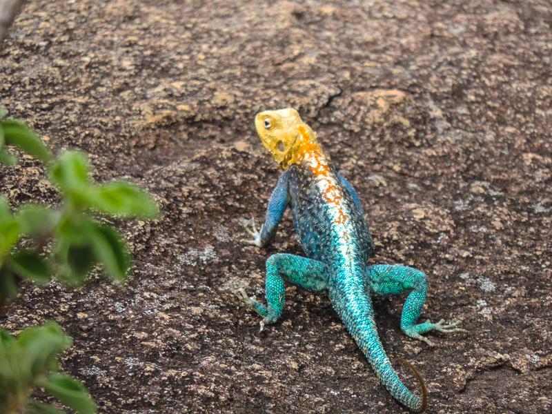 Rock lizard Zimbabwe