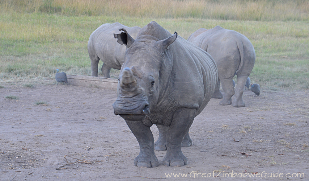 Great Zimbabwe Guide Rhino