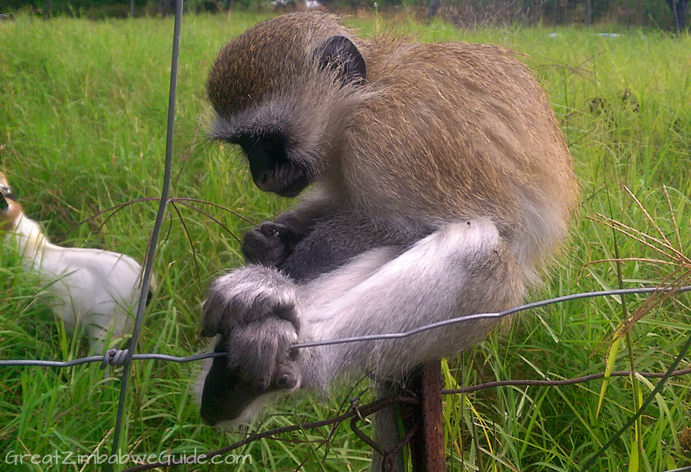 Twala Trust Monkey Horace Zimbabwe Africa
