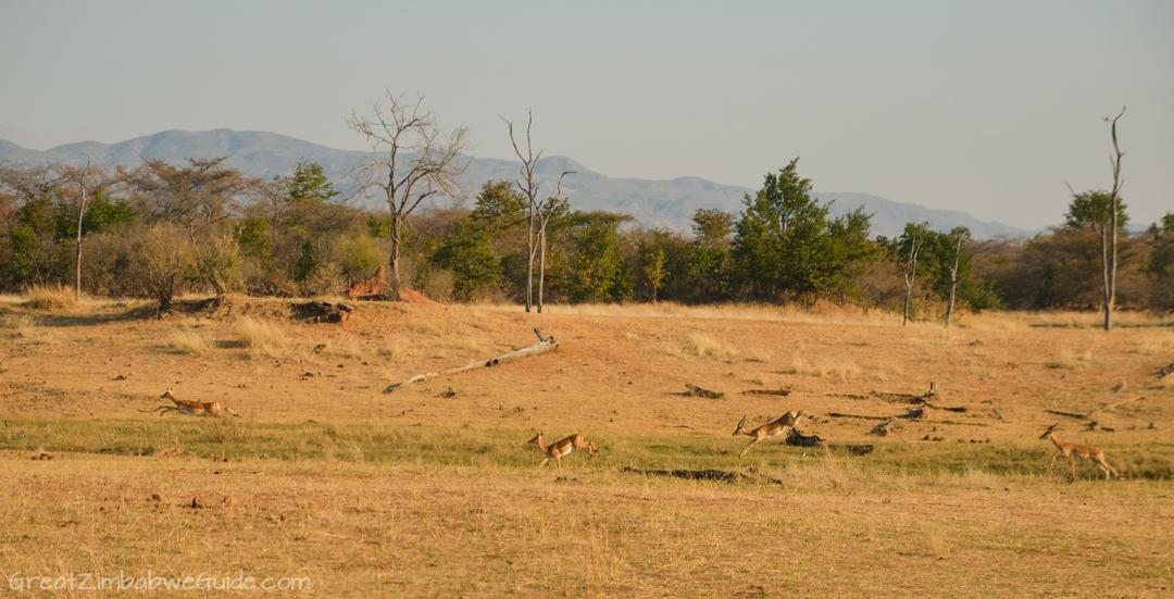 Matusadona National Park Kariba Zimbabwe Impala