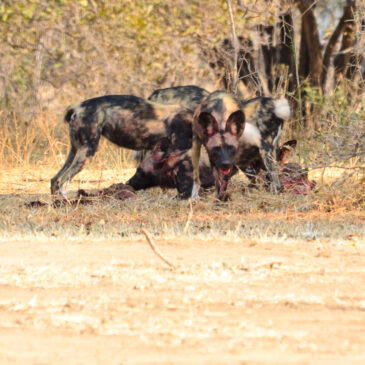 My time with the painted wolves from David Attenborough's Dynasties