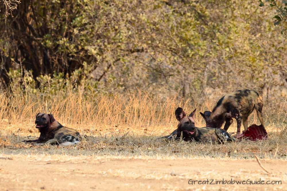 Painted wolves dogs Zimbabwe (6)