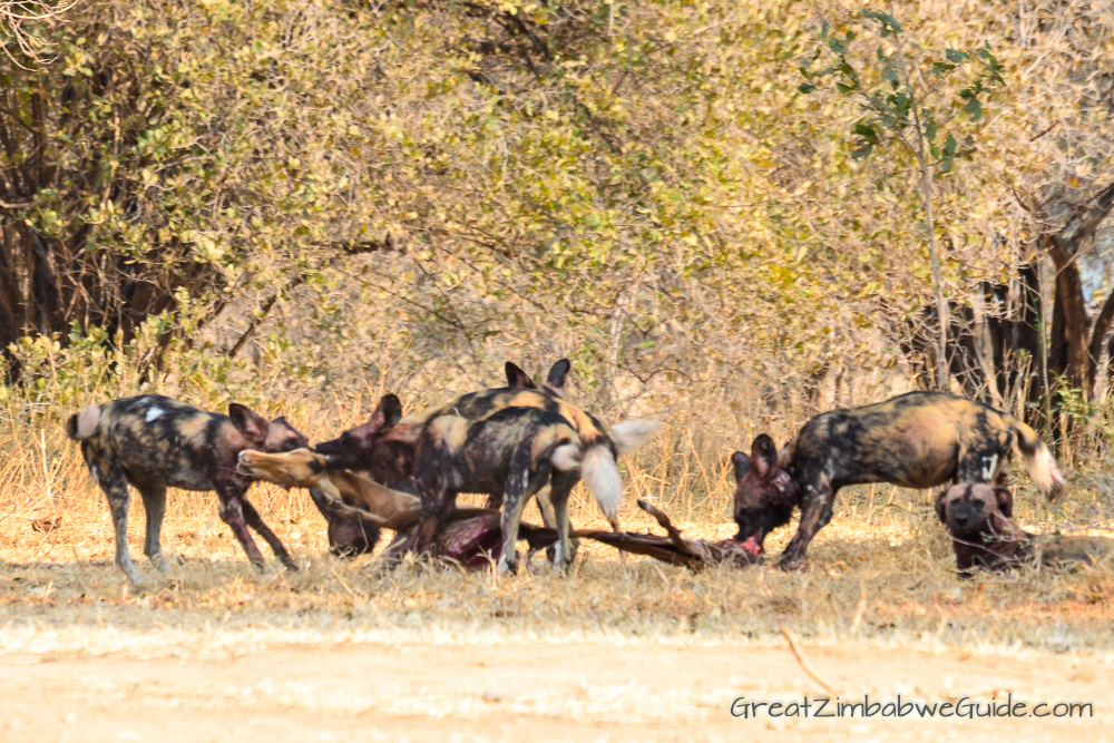 Painted wolves dogs Zimbabwe (7)