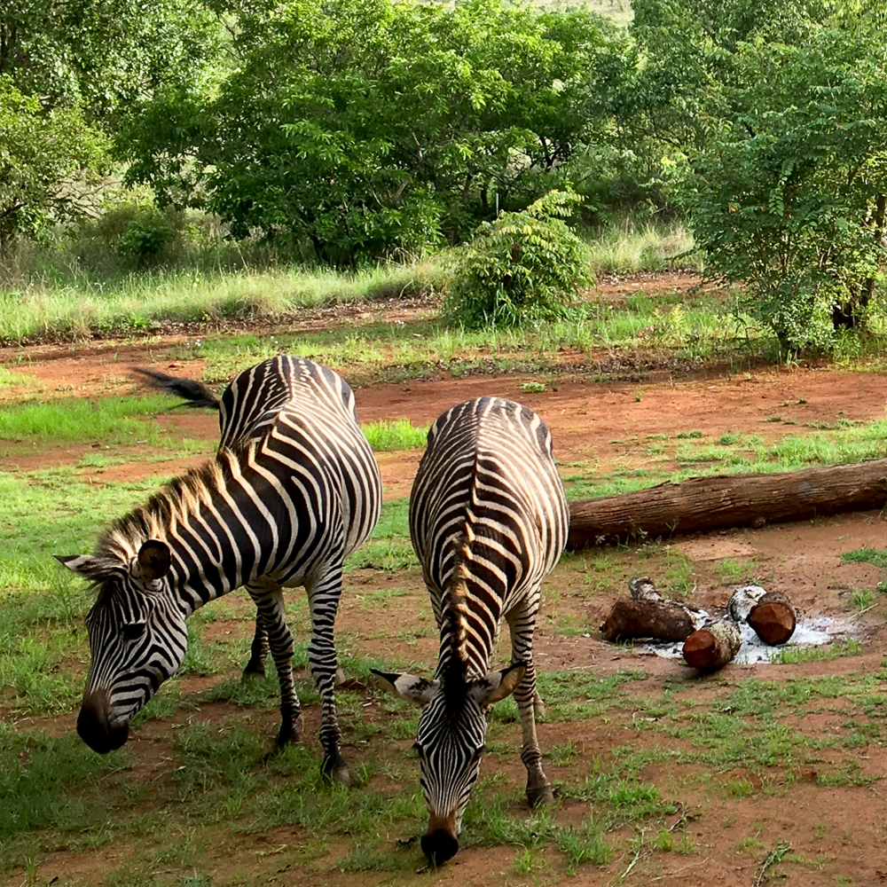 Zimbabwe Zebra Mavhuradona Inspiration-1-16