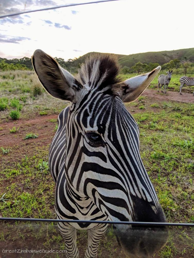 Zimbabwe Zebra Mavhuradonha-1-4