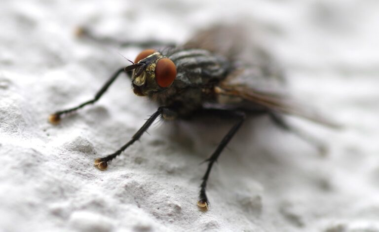 fly, insect, whopper