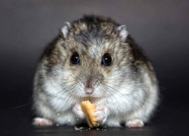 hamster, rodent, dwarf hamster