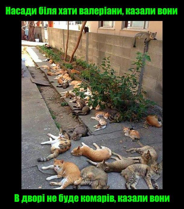 Коти і валеріана (валеріанка). Насади біля хати валеріани, казали вони. В дворі не буде комарів, казали вони. На фото: Біля кущів валеріани величезна кількість котів