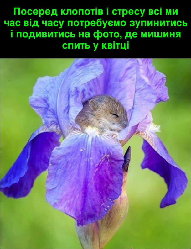 Посеред клопотів і стресу всі ми час від часу потребуємо зупинитись і подивитись на фото де мишиня спить у квітці