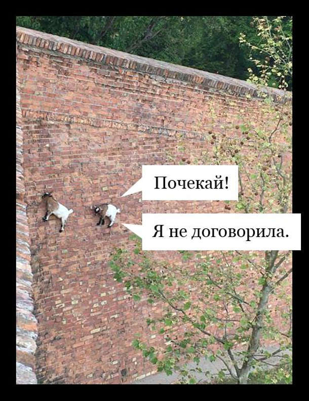 Гірські козли - самець і самиця на майже вертикальній стіні. Самиця: - Почекай, я ще не договорила