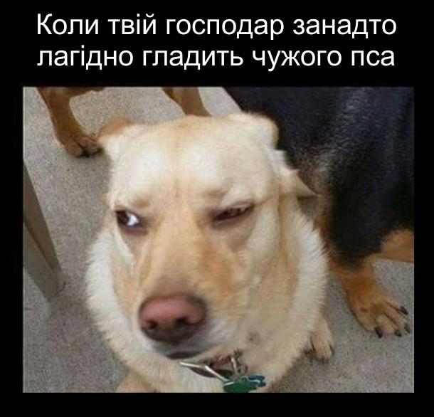 Мем Підозріливий пес. Коли твій господар занадто лагідно гладить чужого пса. На фото: собака, що дивиться скоса, підозріливо
