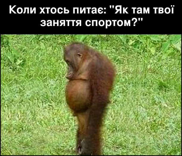 """Коли хтось питає: """"Як там твої заняття спортом?"""" На фото:  сумний орангутан дивиться на своє черево."""