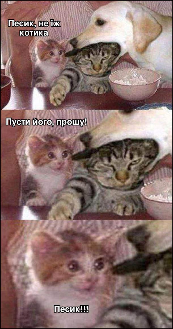 Собака, граючись, взяв до рота голову кота. Котові байдуже. А кошеня, яке це бачить, шоковане: - Песик, не їж котика. Пусти його, прошу! Песик!!!