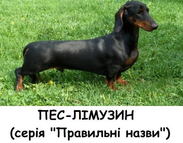 """Пес-лімузин (собака породи такса). Серія """"Правильні назви"""")"""