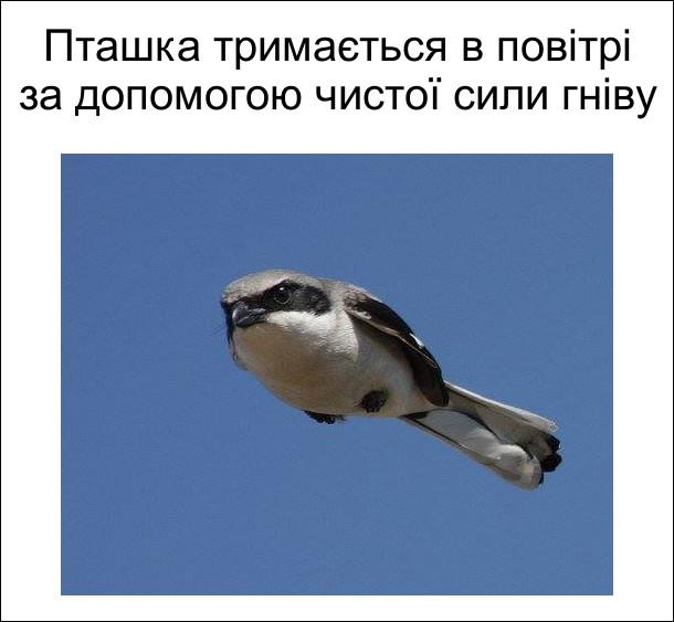 Пташка тримається в повітрі за допомогою чистої сили гніву