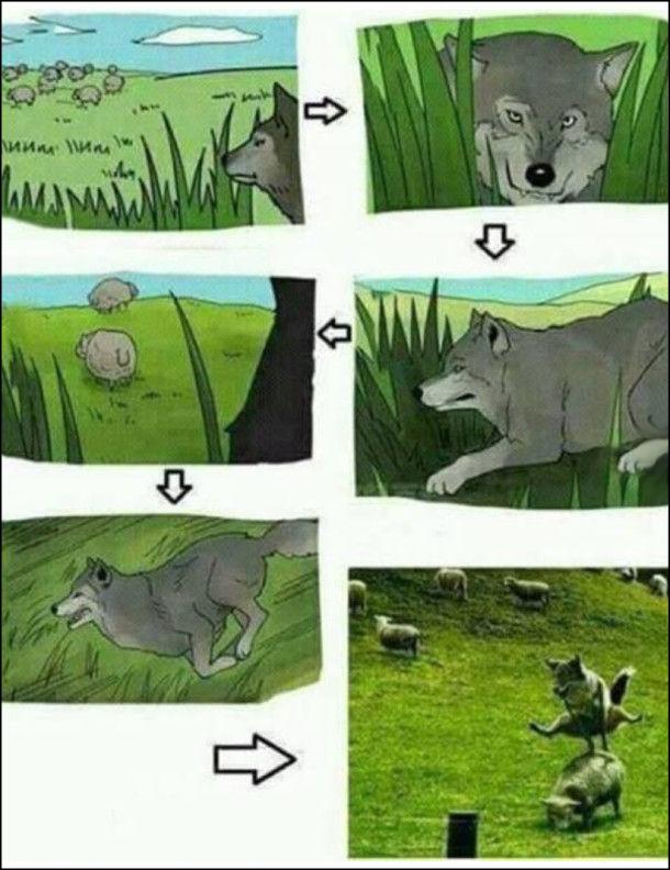 Вовк підкрадається до овечої отари, вибігає і цибає через вівцю