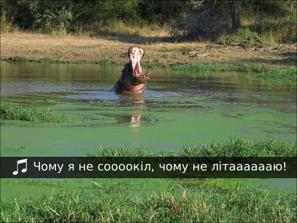 Бегемот сидить в ставку і роззявивши пащу співає: - Чому я не соооокіл, чому не літааааааю!