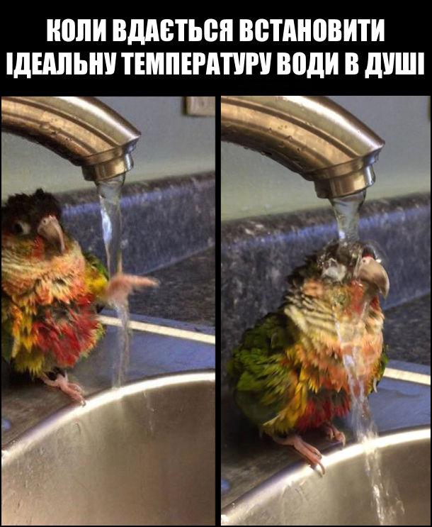 Папуга підійшов до крану, з якого ллється вода, попробував лапою воду, а потім весь став під струмінь. Коли вдається встановити ідеальну температуру води в душі